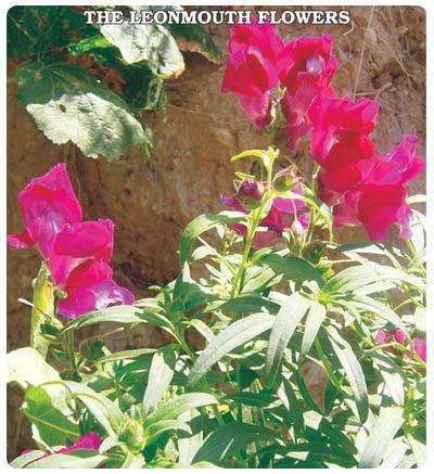 Aslanağzı Çiçeği