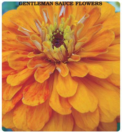 Beybeğendi Çiçeği