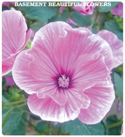 Bodrum Güzeli Çiçeği