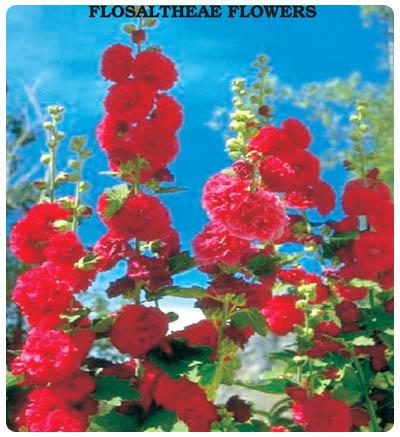 Hatim Çiçeği