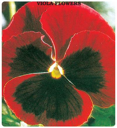 Hercai Menekşe Çiçeği