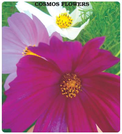 Kosmos Çiçeği