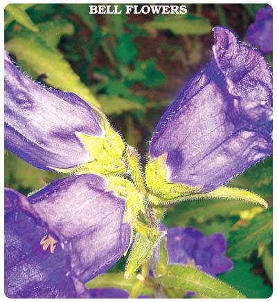 Çan (Kadeh) Çiçeği