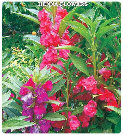 Kına Çiçeği