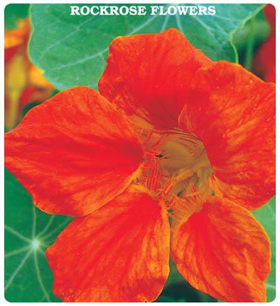 Laden(Latin) Çiçeği