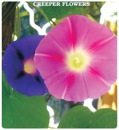 Sarmaşık (Karışık Renk) Çiçeği