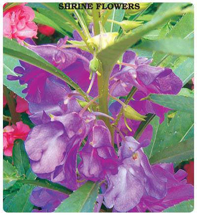 Türbe Çiçeği