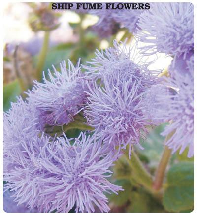 Vapur Dumanı Çiçeği