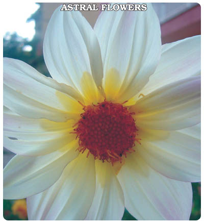 Yıldız Çiçeği (Karışık Renk)