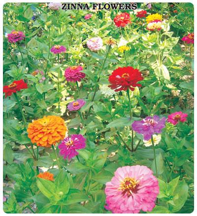 Zinna Çiçeği