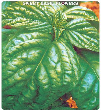 Fesleğen (Yeşil İri Yaprak)