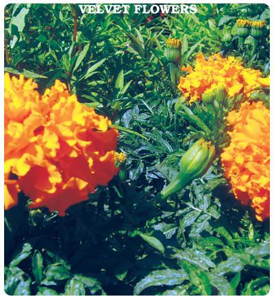 Kadife (Bodur) Çiçeği