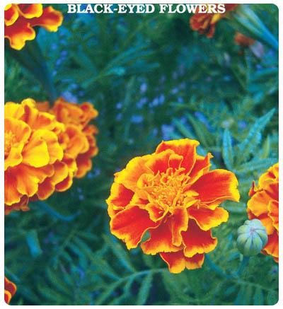 Karagöz Çiçeği